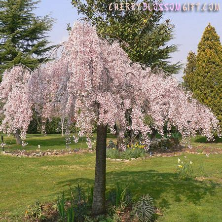 cherry tree kinds types of weeping trees live weeping japanese cherry tree cherry blossom gift trees