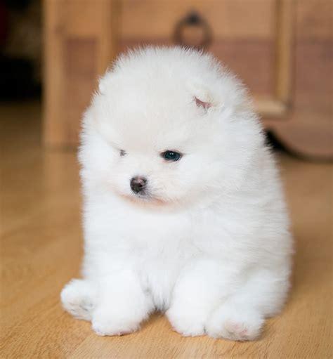 Pom Mini 3nozel 3 pomeranian puppies for sale mini poms poms micro poms boo boo poms for sale cutiepoms