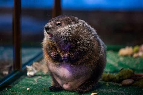groundhog day que es el invierno durar 225 6 semanas m 225 s seg 250 n la marmota phil