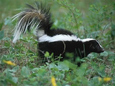 how do you get rid of skunks in your backyard how to get rid of skunks diy skunk removal tips and ideas