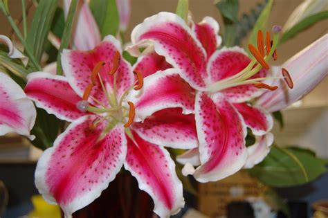 lilies or lillies file gazer jpg wikimedia commons