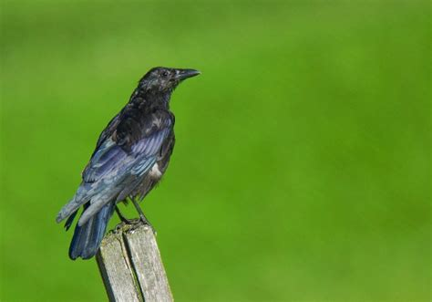 getting rid of crows in backyard how to get rid of crows effective wildlife solutions