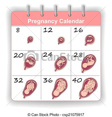 Calendã Gestacional Semanas X Meses Clipart De Semanas Crecimiento Feto Calendario Humano