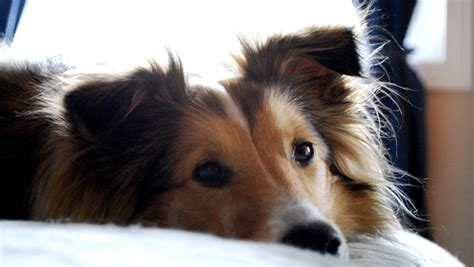 Do Shelties Shed by Ask A Vet Why Does Like To Sleep The Covers Iheartdogs