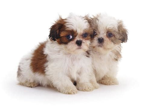2 week shih tzu two shih tzu pups sitting together 7 weeks photographic print by burton at
