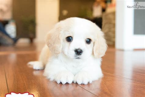 cavachon puppies for sale in ohio teacup cavachon puppies for sale yorkie puppies for sale breeds picture