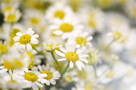 fiori sfondo sfondi di fiori sfondissimo sfondi screensaver gratis