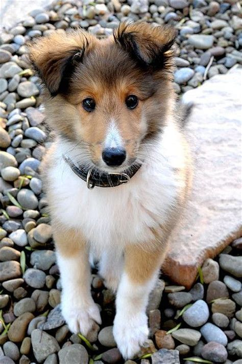 other breeds of dogs puppies shetland sheepdog collie puppies and pets