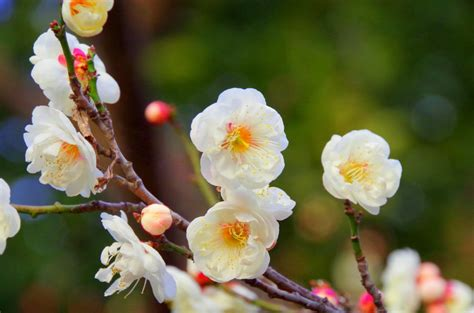 wallpaper bunga plum gambar pemandangan pohon alam cabang mekar musim