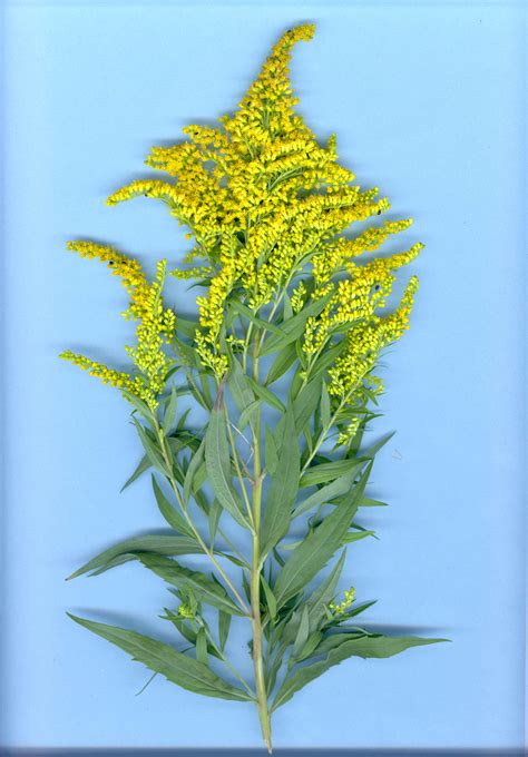 Call Lookup Canada Canada Goldenrod Department Of Agriculture And Aquaculture