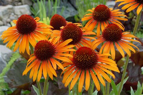 Adobe Ft by Coneflower Flame Thrower Echinacea Thetreefarm Com