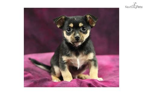 terrier pomeranian mix for sale rat terrier pomeranian mix puppies breeds picture