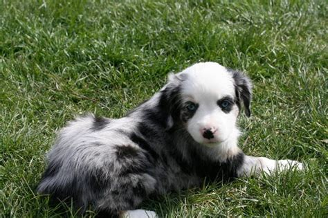 australian shepherd puppies for adoption mini australian shepherd puppy quotes