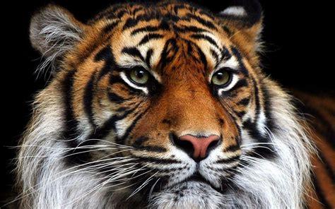 fotos animales wallpapers fondos de pantalla de tigres blancos y amarillos
