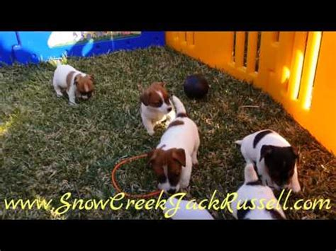 shorty puppies for sale in florida terrier puppies for sale in jacksonville arkansas ar