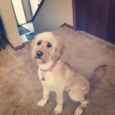 short haired labradoodle f1b 220 ber 1 000 ideen zu goldendoodle haircuts auf pinterest