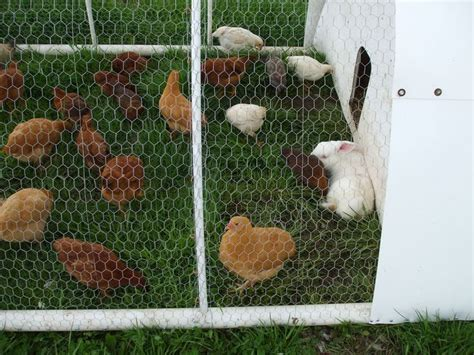 Backyard Chickens And Rabbits Raising Chickens And Rabbits Together Co Housing