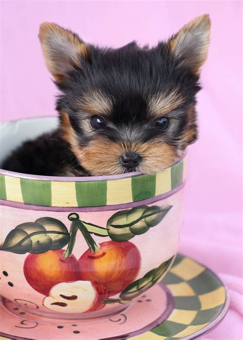 teacup yorkie beds teacup parti terrier puppies florida teacups puppies boutique