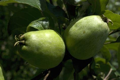 Pomme Petit Museau de Lièvre au Jardin de la Salamandre
