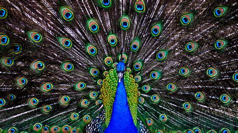 peacock background peacock feather wallpaper hd