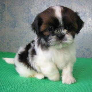shih tzu store 619 best shih tzu pictures images on shih tzus shih tzu puppy and lhasa apso