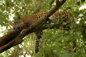 Do Jaguars Eat Plants Saiba Tudo Sobre A On 231 A Pintada Toda Mat 233 Ria