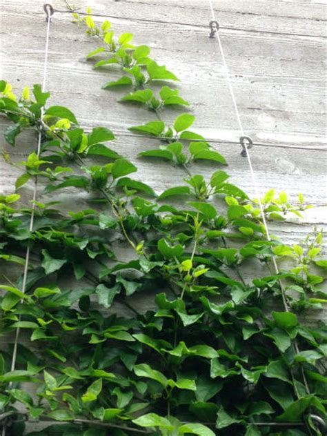 vining house plant that is trained to cover the ceiling easy way to train twining vine plants on walls fences and