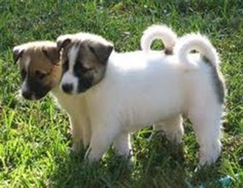 canaan puppies for sale 1000 images about canaan on dogs puppys and breeds