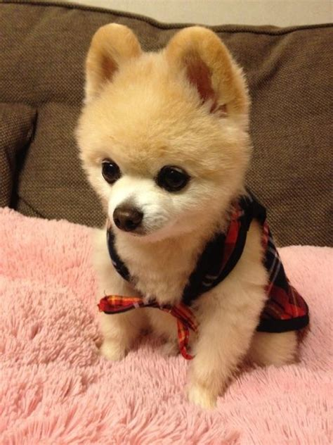 pomeranian with hair pomeranian shunsuke 俊介君 with really thoughts pomeranian hair cuts