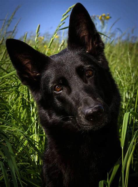 all black german shepherd 7 things you didn t about the black german shepherd