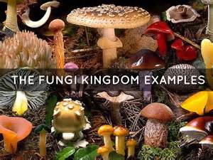exle of fungi fungi protista kingdoms by amanda hudson