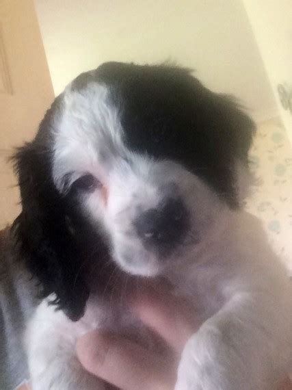 cocker spaniel puppies for sale in alabama cocker spaniel puppies for sale dalkeith midlothian pets4homes