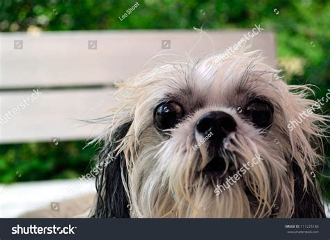 sad shih tzu puppy shih tzu sad stock photo 111225146
