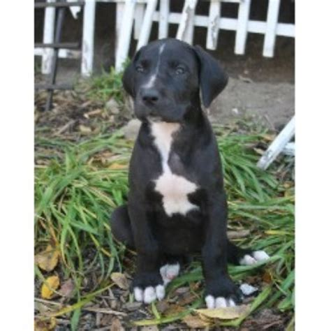 great dane puppies in michigan tadanes great dane breeder in branch michigan listing id 20869