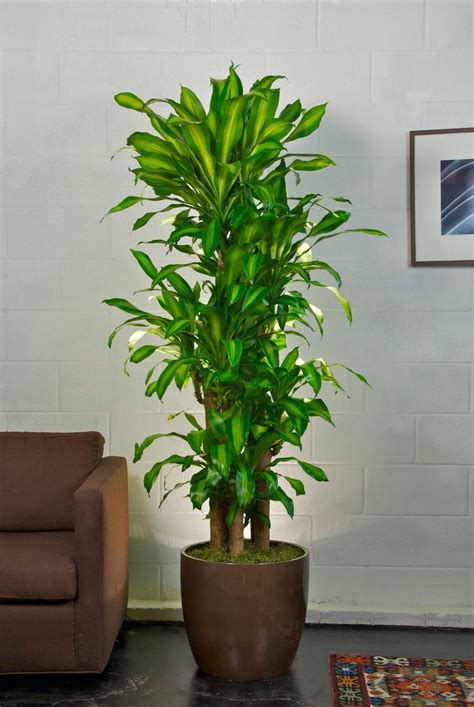 premium corn plant houston interior plants