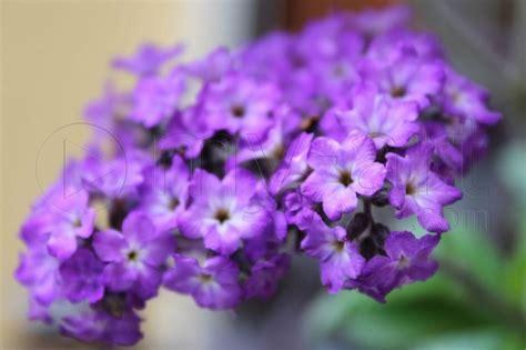 Fleur Violette by Photo Fleur Violette Fleur De