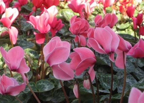 cyclamen color cyclamen make your house look truly magical gardening