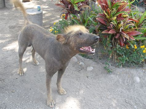 hairless dogs view topic never forget ginga fighting rp needs members chicken smoothie