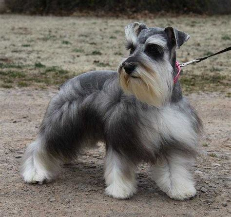 dogs for sale in oklahoma teacup and miniature schnauzer puppies for sale oklahoma