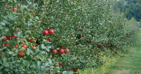 apple pvj accessible by t 5 apple orchards in the boston area bdcwire