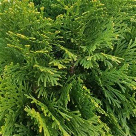 2 5 qt emerald green arborvitae 5520q the home depot