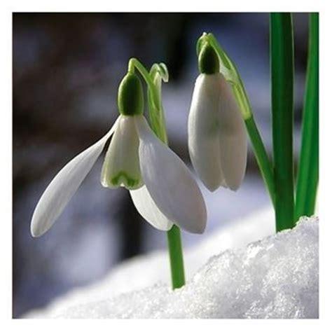 fiore bucaneve bucaneve bulbi
