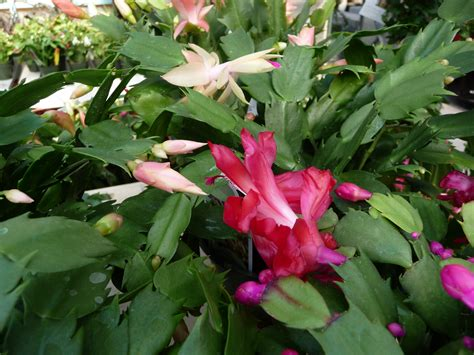 christmas cactus care hyams garden accent store