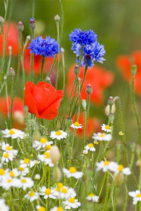 wilde bloemen in duitsland veldbloemen google zoeken dutch meadows wildflowers
