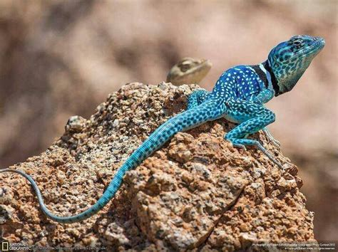 colorful lizard colorful lizard maha 3