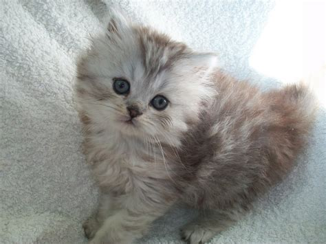 care selkirk selkirk rex information health pictures pet paw