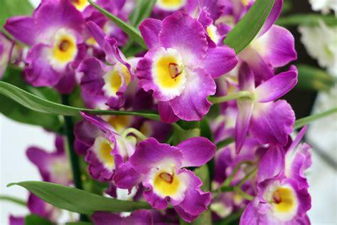 Zimmerorchideen Pflege dendrobium nobile orchidee pflege a z hausgarten net