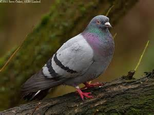 feral pigeon rock dove