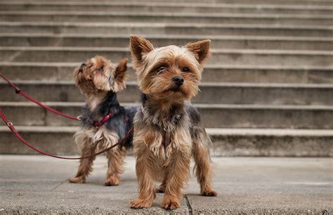 how does a yorkie stay 5 tiny breeds that stay small petful