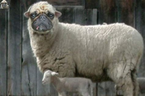 sheep pug 12 best images about pugs everywhere on cats hamsters and koalas